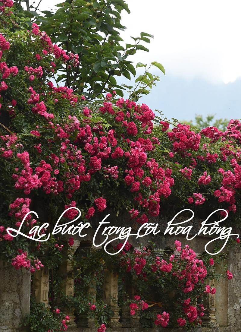 Lạc bước trong cõi hoa hồng Fansipan | Special | Báo điện tử